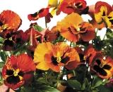 Calendar de perete Flowers 2014 - Luna Iunie